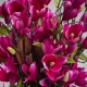 Exkluzívní magnolie LENKA