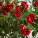 Umelá hodvábna ruža LAURA červená. Cena uvedená za 1 kus.