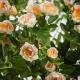 Dokonalá umelá hodvábna ruža LAURA