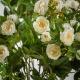Selyem rózsa LAURA krémszínű. Ár/darab.