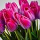 Umelý tulipán BEATA cyklámenový. Cena uvedená za 1 kus.