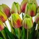 Luxury Tulip BEATA